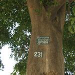 Путранджива роксбургии 231